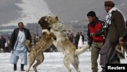Собаки во время традиционных собачьих боев. Кабул, март 2012 года.