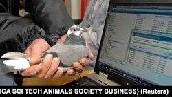 Илустрација: Човек држи гулаб писмоносец пред компјутер за да ги преземе податоците од мемориска картичка што ја носи гулабот