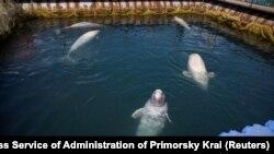 Белухи в «китовой тюрьме»