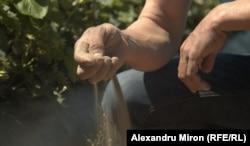 Nisipul de pe terenurile din Oltenia se formează chiar lângă plantele udate cu irigații / comuna Mîrșani, județul Dolj