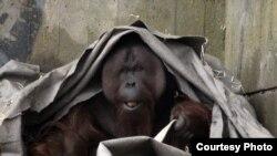 Orangutan Anton in the zoo of Kaliningrad