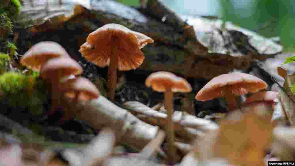 На трухлявом пне – грибная семейка, похожая на разновидность мицены. В тканях подлинной мицены содержится небольшое количество яда, который провоцирует у людей зрительные и слуховые галлюцинации
