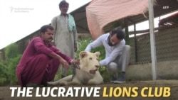 Mane Attraction: Karachi's Elite Keep White Lions As Status Symbols
