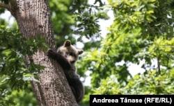 La Sanctuarul Libearty au fost salvați mai mulți pui de urs găsiți singuri, sau ai căror mame au fost ucise. Frații pot crește împreună în siguranță sub ocrotirea personalului. Aceasta este o soluție rară, care nu se aplică pentru orice urs din sălbăticie. Zărnești, 3 iulie 2021.
