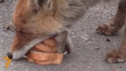 Sandwich-Making Chornobyl Fox Goes Viral