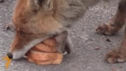 Sandwich-Making Chornobyl Fox Goes Viral
