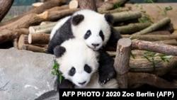 Óriáspandabocsok a berlini állatkertben.