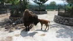 В крымском сафари-парке родился бизон (видео)