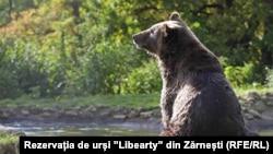 """Urs relaxat la sanctuarul """"Libearty"""" din Zărnești"""