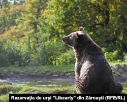 """Urs din Rerzevația """"Libearty"""" din Zărnești"""