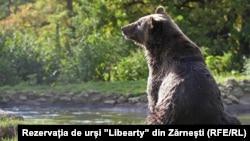 Urs din rezervația Liberty de la Zărnești