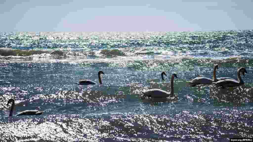 Лебеди на волнах Черного моря возле набережной Евпатории