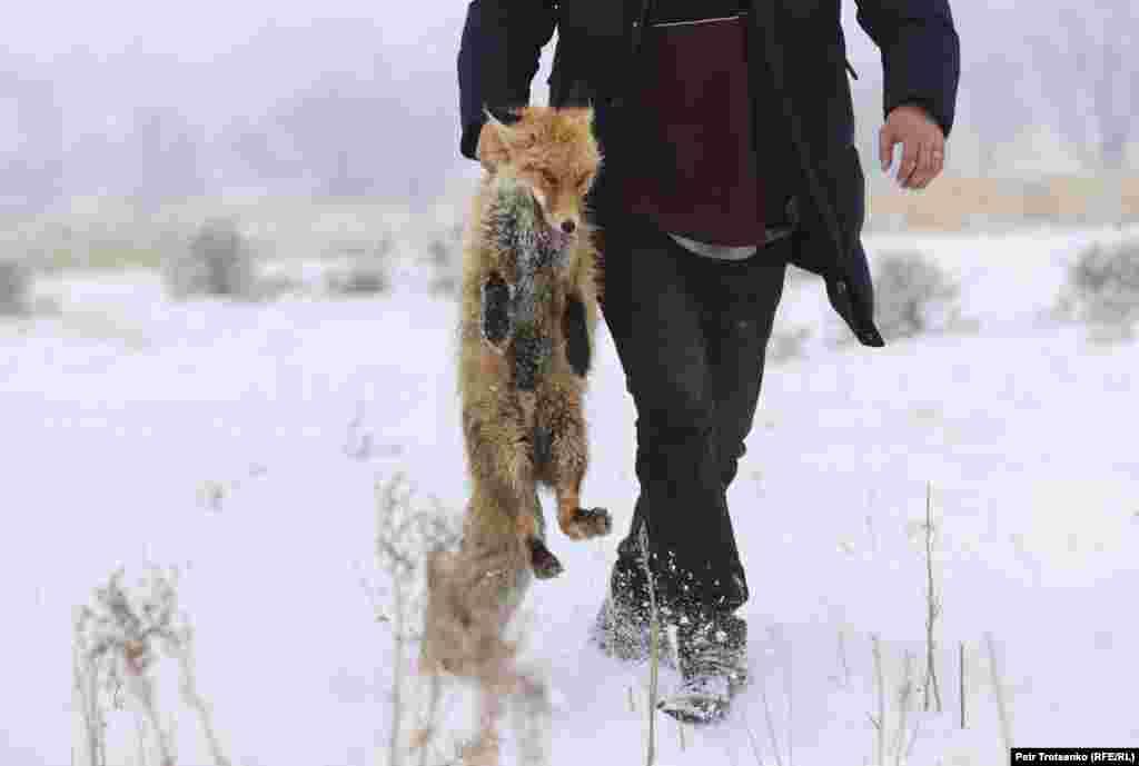 Спасената лисица е върната в клетката ѝ.