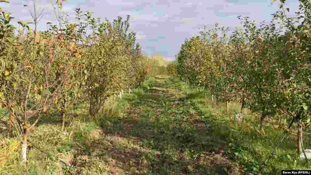 В яблуневих садах біля річки наявна міжрядна оранка, але крізь оранку вже пробивається трава