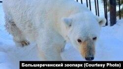Белая медведица Гуля.