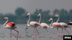 Flamingos in Isfahan, Iran, IRNA photo, May 11, 2019