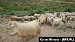 Стадо овец. Иллюстративное фото.