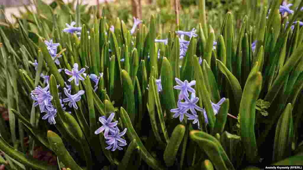 Квітнуть гіацинти