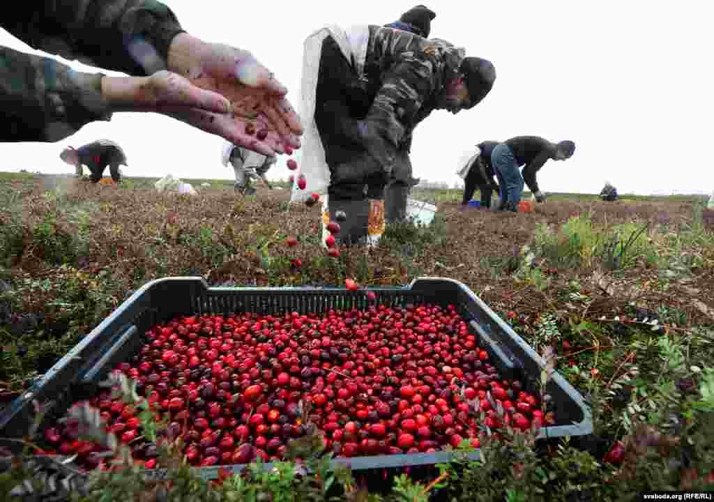 За день сборщик зарабатывает от 15 до 45 белорусских рублей (от семи до 20 долларов США).
