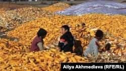 Рабочие крестьянского хозяйства сидят посреди кукурузы на земле. Панфиловский район, Алматинская область.