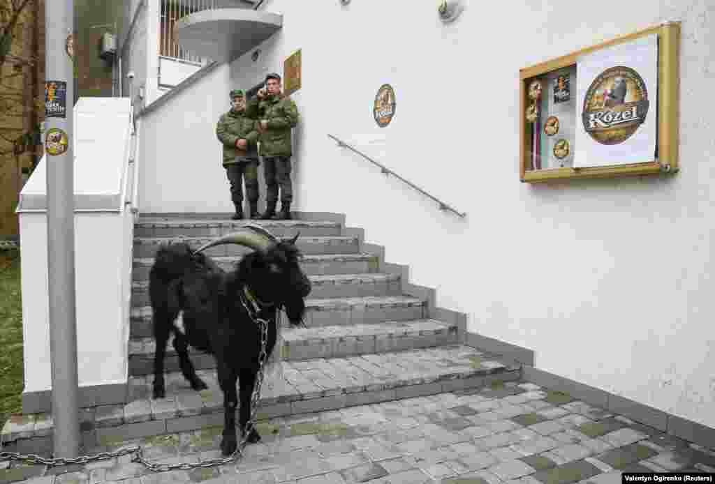A goat is seen during a protest by Ukrainian activists against Czech President Milos Zeman outside the Czech Republic's embassy in Kyiv on October 12. Zeman had drawn their ire by suggesting Russia's annexation of Crimea was a fait accompli. (Reuters/Valentyn Ogirenko)