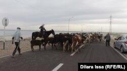 Жители перегоняют скот в Шардаринском районе. Южно-Казахстанская область, 16 мая 2018 года.