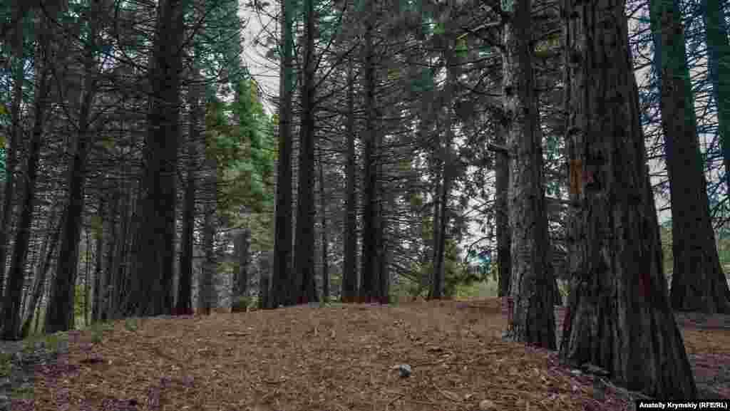 Секвойи из США шумят под Чатыр-Дагом. В начале 1960-х ученые Никитского ботанического сада высадили их в экспериментальных целях. «Американцы» хорошо прижились в здешних краях и теперь радуют своим величием местных и туристов