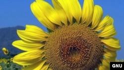 Символом партии сделают цветок подсолнуха