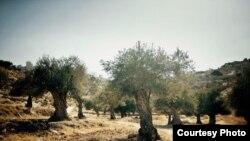 Оливковые деревья на Западном берегу