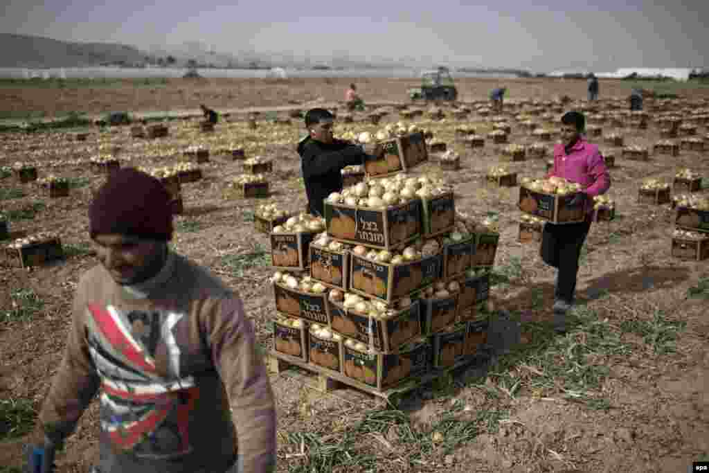 Palestinians work in an onion field near the Israeli settlement of Almog, located near the West Bank city of Jericho. (epa/ABIR SULTAN)