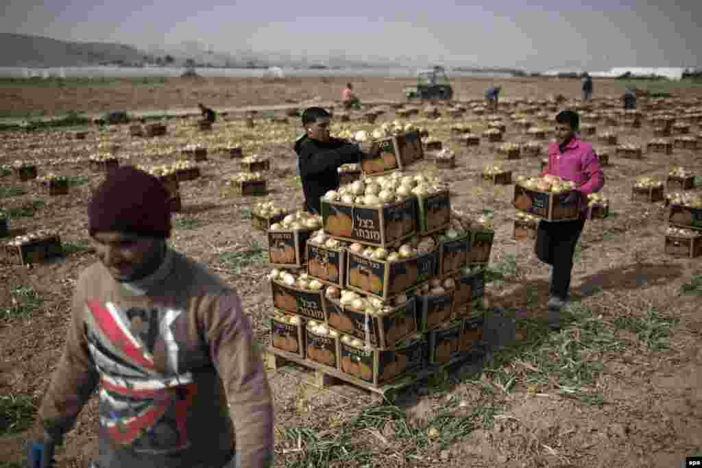 Palestinians work in an onion field near the Israeli settlement of Almog, located near the West Bank city of Jericho. (epa/ABIR SULTAN)