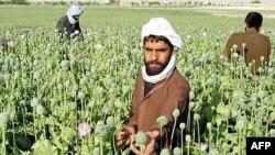 تولید تریاک افغانستان در سال گذشته افزایش داشته است