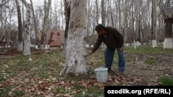 Мужчина занимается побелкой деревьев в день хашара впреддверии праздника «Навруз». Ташкент, 2013 год.