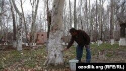 Житель Ташкента занимается побелкой деревьев в день хашара в преддверии праздника «Навруз». Архивное фото.