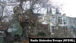 Повеќе од 1000 години стариот чинар во Охрид е оштетен.