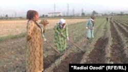 Занон ҳангоми кор дар ноҳияи Рӯдакӣ. Моҳи августи 2017