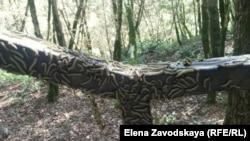 По данным мониторинга, гусеницы освоили самшитовые леса вплоть до Ткуарчала, их размножение привело к гибели многих популяций самшита