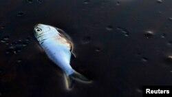 Разлив нефти в Мексиканском заливе в 2010 году привел к гибели тысяч животных