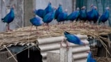 ადგილი, სადაც იშვიათ ფრინველებს ამრავლებენ