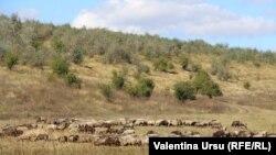 Turmă de oi la Ungheni