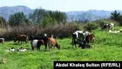 ماشية في دهوك
