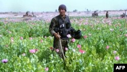 A policeman destroys a poppy field in the Nad-e Ali district of Helmand Province in March.