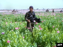 File photo of a policeman destroying a poppy field in the Nad-e Ali district of Helmand province.