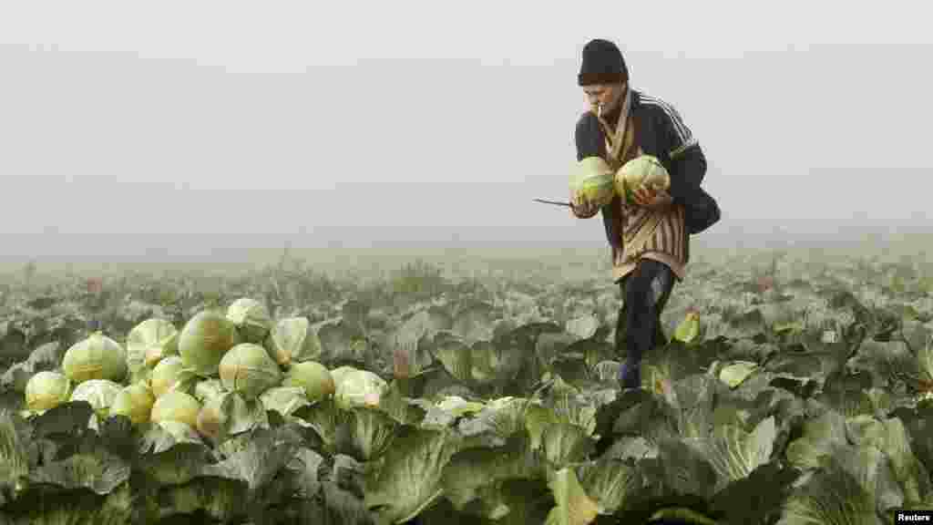 A Belarusian woman woman gathers cabbage in the field of a private farm near the village of Radashkovichi on October 18. (REUTERS/Vasily Fedosenko)
