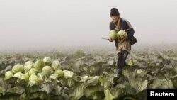 O șomeră culege varză într-un sat din Bielorusia.
