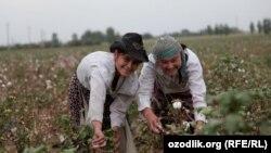 Uzbekistan - Uzbek girls are picking cotton in Tashkent region, undated