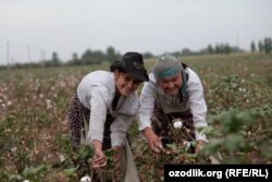 Девушки собирают хлопок. Ташкентская область, Узбекистан.