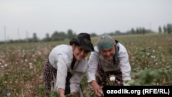 Uzbekistan - Uzbek girls are picking cotton in Tashkent region, undated