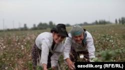 Өзбекстандагы пахта терим.