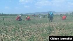 Молодые девушки, трудящиеся на хлопковом поле в Каракалпакстане.